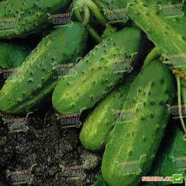 Родничок F1 семена огурца пчелооп. среднего 50-55 дн. 9-12 см (Semenaoptom)