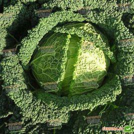 Серд семена капусты савойской средней (Semenaoptom)