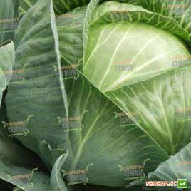 Трансфер F1 семена капусты б/к ультраранней (Semenaoptom)