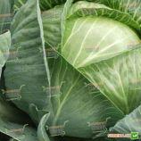 Трансфер F1 насіння капусти б/к ультраранньої (Semenaoptom)