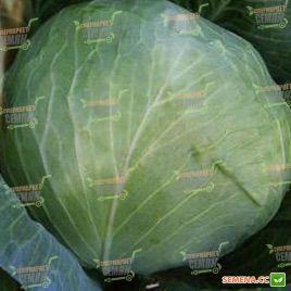 Триумф F1 семена капусты б/к среднепоздней (Semenaoptom)