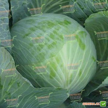 Валентина F1 семена капусты б/к поздней (Semenaoptom)