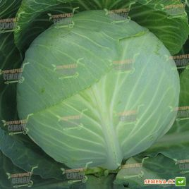 Валентина F1 семена капусты б/к поздней 125-135 дн. 3-4 кг (Semenaoptom)