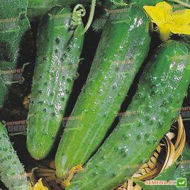семена огурца зозуля f1