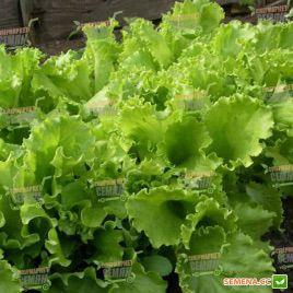 семена салата листового кучерявец одесский