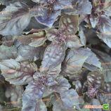 Пурпурный Базилик семена базилика красного (Semenaoptom)