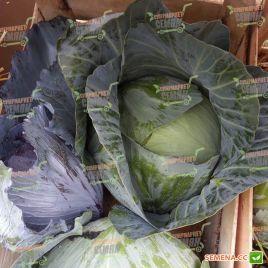 Агрессор F1 семена капусты б/к среднепоздней 110-120 дней 3-5 кг окр. (Syngenta)