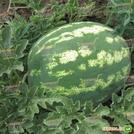 Арашан F1 (ВДЛ5003 F1) семена арбуза тип кр.св. среднего 78-80 дн. 8-10 кг овал. (Syngenta)