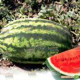 Астрахан F1 семена арбуза тип Кримсон Свит (Syngenta)