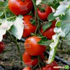 Бодерин F1 семена томата индет. 170-180 гр (Syngenta)
