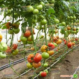 Бостина F1 семена томата индет. среднераннего 52-55 дн. окр. 200-220 гр (Syngenta)