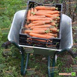 Дордонь F1 (1,4-1,6) семена моркови Нантес средней 115-120 дн (Syngenta)