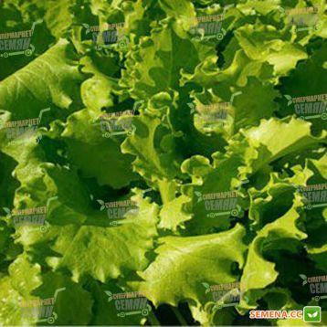 салат листовой фанли