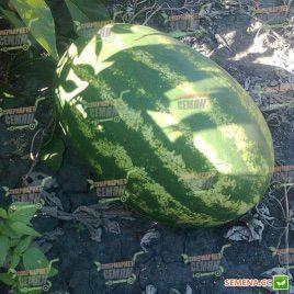 Фарао F1 семена арбуза тип Кримсон Свит 80-85 дн. 15-18 кг (Syngenta)
