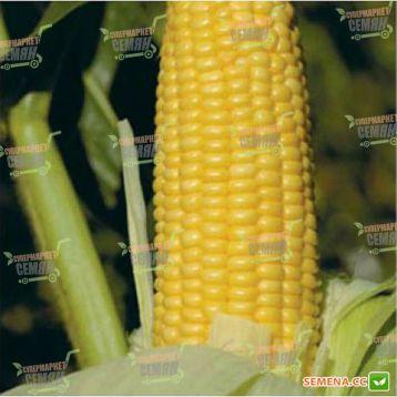 GH 2042 F1 семена кукурузы суперсладкой (Syngenta)