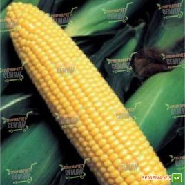 GH 6462 F1 семена кукурузы суперсладкой (Syngenta)