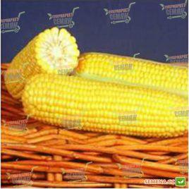 Мореленд F1 (GSS 1453 F1) семена кукурузы суперсладкой Sh2 ранней 83дн 22см 18р. (Syngenta)