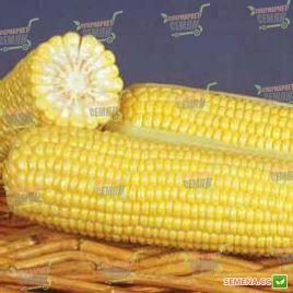 ГСС 8529 (GSS 8529) F1 семена кукурузы суперсладкой Sh2 83 дн. 22см 18р. (Syngenta)