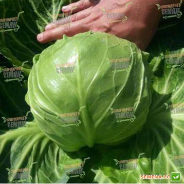 Кевин F1 семена капусты б/к ультраранней 50-52 дн. 1,3-1,8 кг окр. (Syngenta)