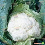 Клаптон F1 семена капусты цветной (Syngenta)