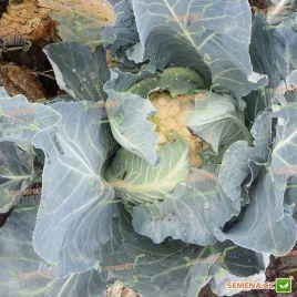 Клаптон F1 семена капусты цветной средней 80-85 дн. 2-3 кг бел. (Syngenta)