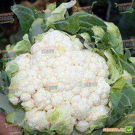 Кортес F1 семена капусты цветной (Syngenta)