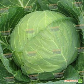 Миррор F1 семена капусты б/к ультраранний 47-49 дн 1-1,2 кг (Syngenta)