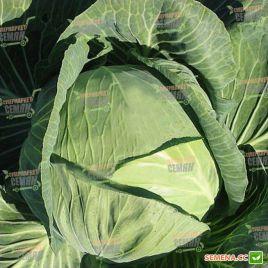 Новатор F1 семена капусты б/к поздней 130-135 дн. 4-4,5 кг (Syngenta)