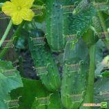 Октопус F1 семена огурца корнишона пчел. раннего 45-48 дн. 6-9 см (Syngenta)
