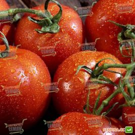 Панекра F1 семена томата индет. ранний 58-60 дн окр.-припл. 260-280 гр (Syngenta)