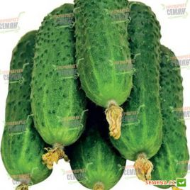 Пасалимо F1 семена огурца партенокарп. раннего 39-41 дн. 8-10 см (Syngenta)