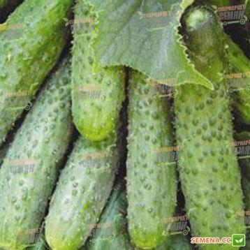 Пасамонте F1 семена огурца партенокарп. раннего 40-42 дн. 6-9 см (Syngenta)