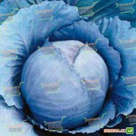Ребол F1 семена капусты к/к ранней (Syngenta)