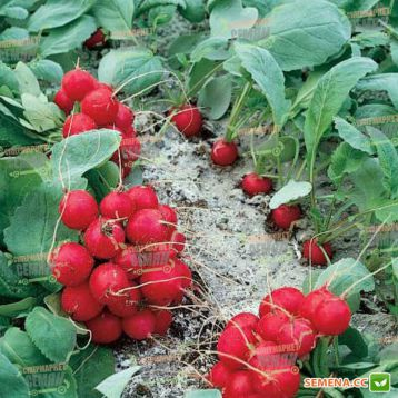 Рондар F1 семена редиса 18-20 дн (Syngenta)