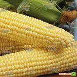 Шайнрок F1 семена кукурузы суперсладкой (Syngenta)