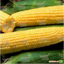Шайнрок F1 семена кукурузы суперсладкой Sh2 поздней 86 дн. 23см 18р. (Syngenta)