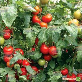 Силует F1 семена томата полудет. 140-160 гр (Syngenta)