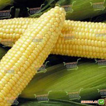 Спирит F1 семена кукурузы сладкой (Syngenta)