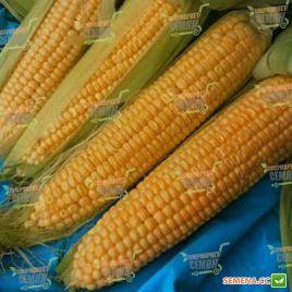 Спирит F1 семена кукурузы сладкой Su ранней 67дн. 22 см 14-16р. (Syngenta)