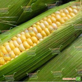 Свитстар F1 семена кукурузы суперсладкой Sh2 ранней 73 дн. 22см 16р. (Syngenta)