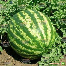 Топ Ган F1 семена арбуза тип кр.св. среднего 78-80 дн. 8-10 кг овал. (Syngenta)