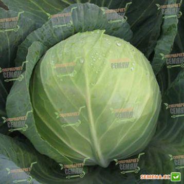 Триперио F1 семена капусты б/к средней (Syngenta)