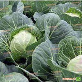 Веронор F1 семена капусты б/к раней (Syngenta)
