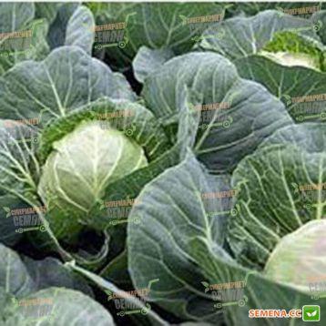 Веронор F1 семена капусты б/к ультрараней 52-55 дн 1,8 кг (Syngenta)