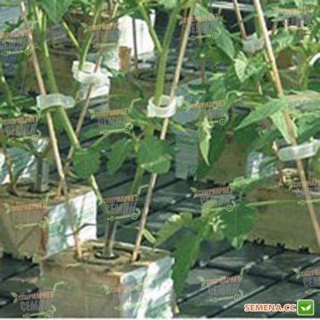 Арнольд F1 семена подвоя (Syngenta)