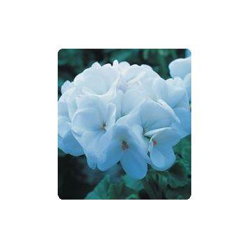 Герань (пеларгония) Салют Pure White