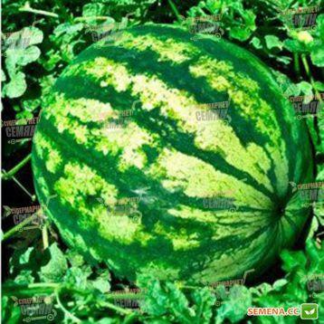 Бостана F1 семена арбуза тип кр.св. раннего 6-9 кг окр. (Syngenta) СНЯТО С ПРОИЗВОДСТВА