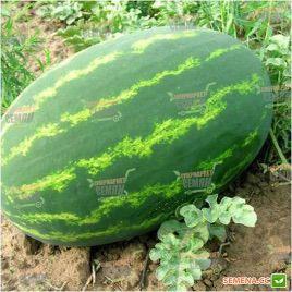 Селебрейшн F1 семена арбуза тип Кримсон Свит (Syngenta)