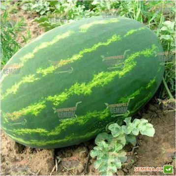 Селебрейшн F1 семена арбуза тип кр.св. раннего 60-65 дн. 12-18 кг удл. (Syngenta) СНЯТО С ПРОИЗВОДСТВА