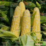 Абегаль F1 семена кукурузы сладкой (Agri Saaten)